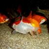 金魚飼育に挑戦(その壱)
