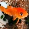 伊勢に「しゃべる金魚」「うったえる金魚」 - MINKEITV